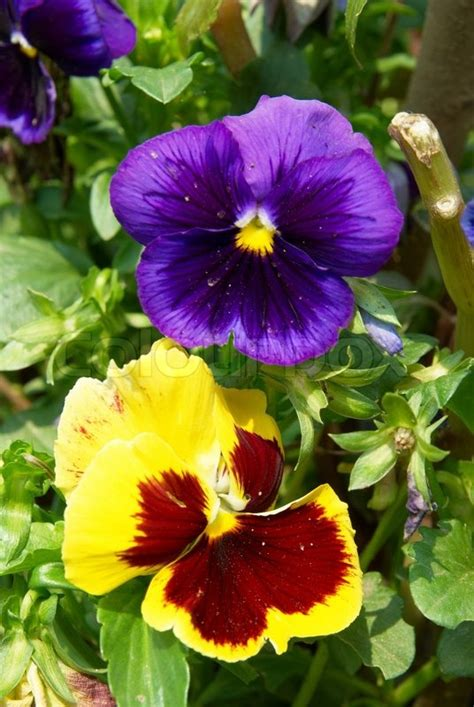 pansy purple  yellow flowers   garden stock