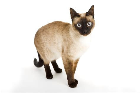 Cat Breeds 101 The Siamese Cat Greengatocom