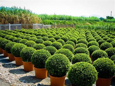 Gartengestaltung Mit Buchsbaum by American Boxwood For Sale The Tree Center