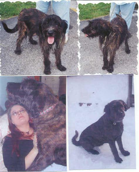 wolfhound mix irish 2000 adopted breed