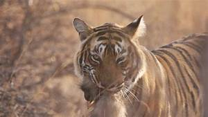 how to make estimates what is the best place to see tigers in india natural