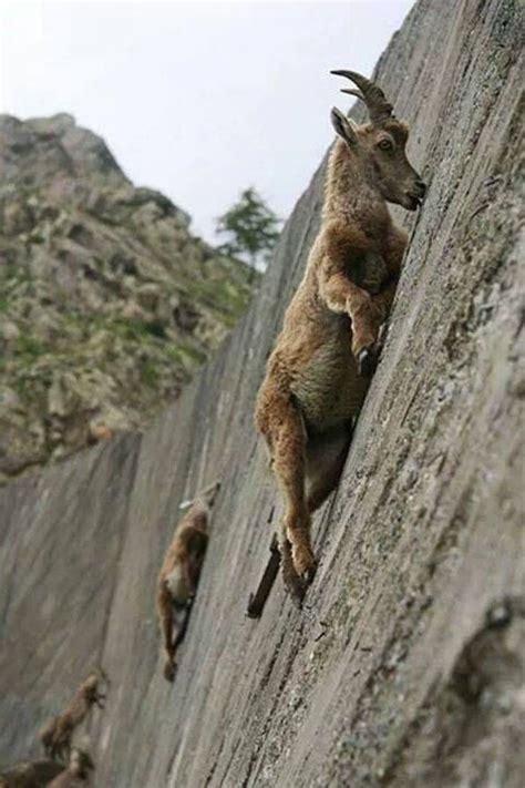 The Alpine Ibex Climbs Dam Face Lick Minerals