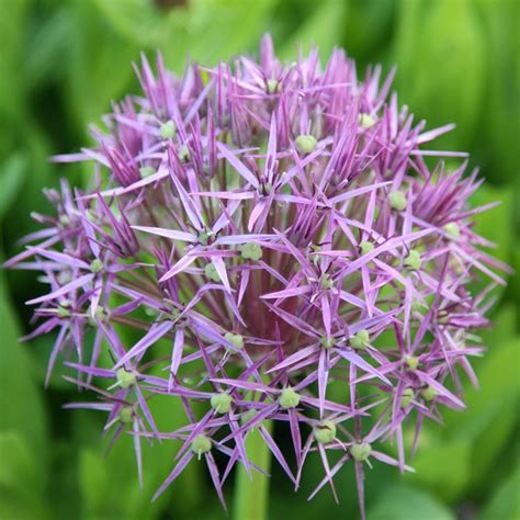 buy of bulbs allium christophii allium