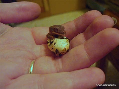 Halloween Crested Gecko by What Hatches Out Of My Incubator Results Gecko Time