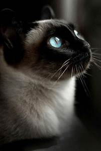 Seal Point Siamese cat with rich blue eyes and traditional ...