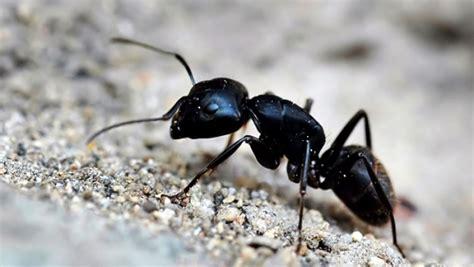 comment se debarrasser des fourmis dans maison comment pr 233 venir l infestation de fourmis charpenti 232 res