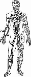 Veins And Arteries Of The Body