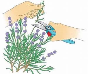 Magnolien Vermehren Durch Stecklinge : lavendel durch stecklinge vermehren oder garten und ~ Lizthompson.info Haus und Dekorationen