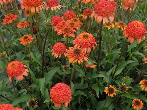 cone flowers coneflower