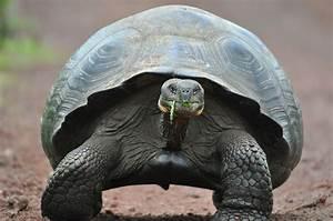 Galapagos Tortoises Thrive On Invasive Plants Earth