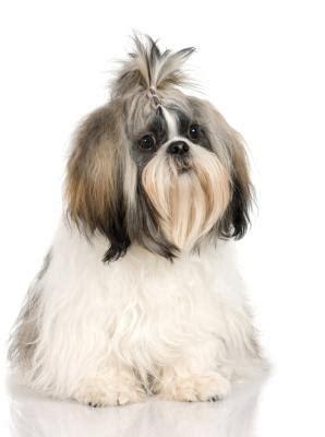 shih tzu puppy eat pets