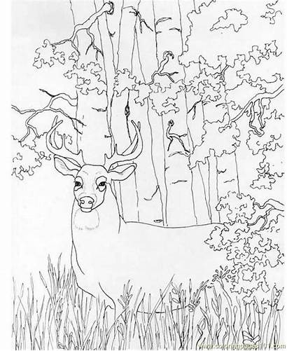 Deer Coloring Printable Whitetail Pages Realistic Buck