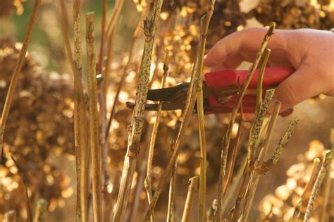 wann werden hortensien geschnitten hortensien schneiden 187 wann ist der richtige zeitpunkt