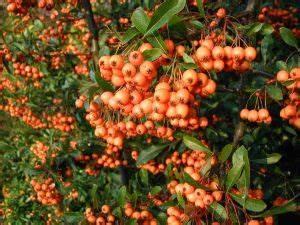 Strauch Mit Roten Beeren Im Winter : feuerdorn wikipedia ~ Frokenaadalensverden.com Haus und Dekorationen