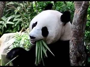 Cute Giant Panda Eating Bamboo! - YouTube