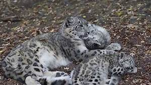 Snow Leopard Kittens and Mom - YouTube