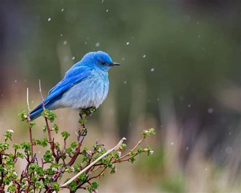 mountain bluebird facts anatomy diet habitat behavior