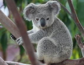 コアラ:KOALA | Angie Bell | Flickr