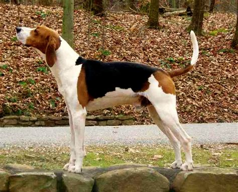 do walker coonhounds shed coon treeing breeds picture