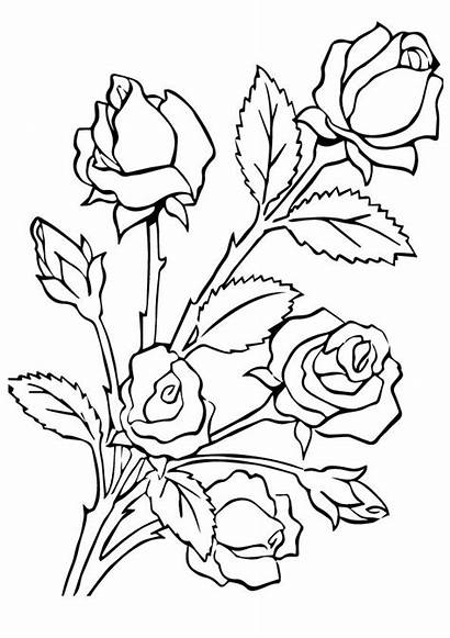 Coloring Rose Roses Pages Five A4 Printable