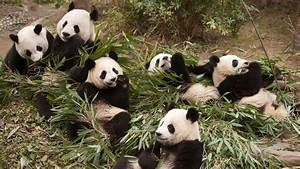 Imax39s 39Pandas39 Tracks China39s Efforts To Release Pandas