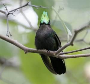 Black Crested Hummingbird