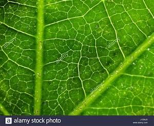 Pflanze Große Blätter : japanese aralia fatsia japonica stockfotos japanese aralia fatsia japonica bilder alamy ~ Avissmed.com Haus und Dekorationen