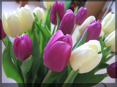 tulip pictures wallpaper wallpapersafari