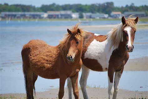chincoteague ponies history beach