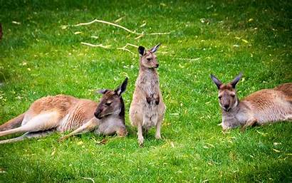 Kangaroo Marsupial Kangourous Canguros Kangaroos Canguri Kangury