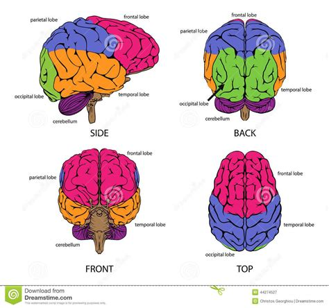 image result  brain frontal view labeled  images