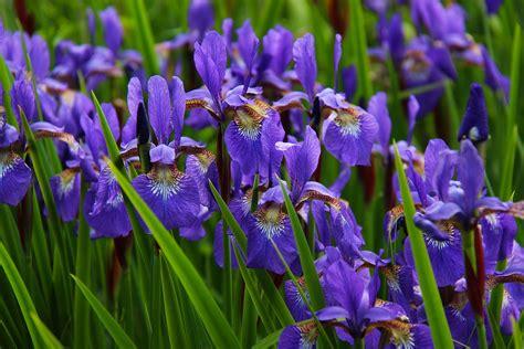 The Rose Shop  Fullservice Florist  Blog Iris Flower