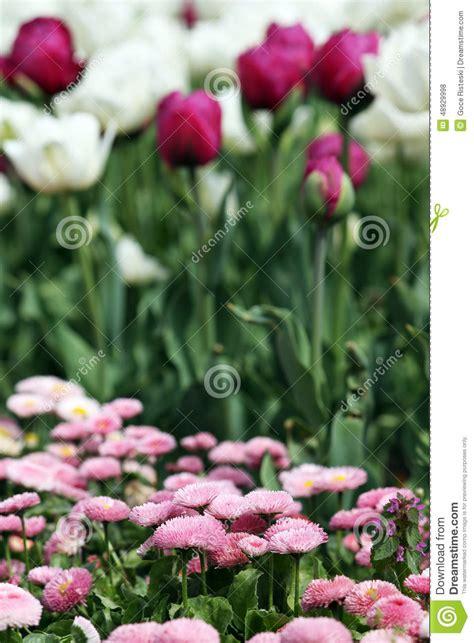 tulip flower garden free stock daisy and tulip flower garden stock photo image 48929998