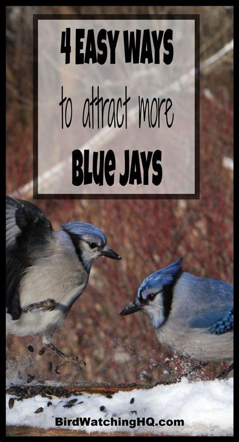 attract blue jays    simple strategies  blue jay bird   attract birds