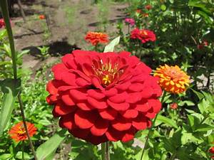 File:Zinnia elegans (red).jpg - Wikimedia Commons