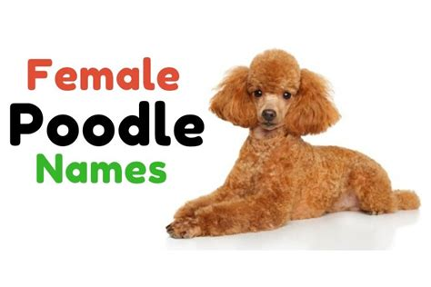 1000 Poodle Names Perfect Names For Perfect Pets