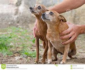 Two Very Small Brown Dogs. One Fat, One Thin. Very Cute ...