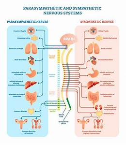 Human Nervous System Illustrations  Royalty