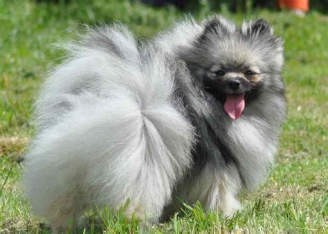 pomeranian breed description history  overview
