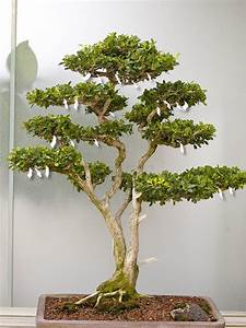 bonsai baum orme du japon ulmus japonica bonsai pictures With garten planen mit bonsai 1000 years old
