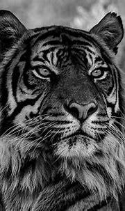 Sumatran Tiger | Sumatran Tiger, Edinburgh Zoo. Sumatran ...