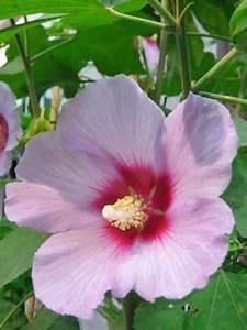 Taille De L Hibiscus : mauve en arbre 39 resi 39 hibiscus syriacus le jardin du ~ Melissatoandfro.com Idées de Décoration