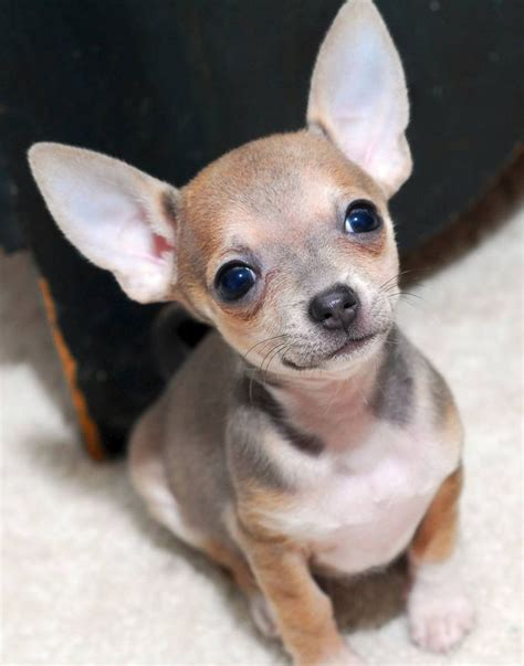 chihuahua puppies  guy  gorgeoussss love  blue