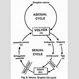Volvox Life Cycle | 265 x 368 jpeg 22kB