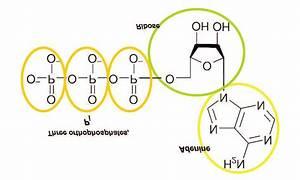 Schematic Representation Of Atp Molecule  Dissociation Of
