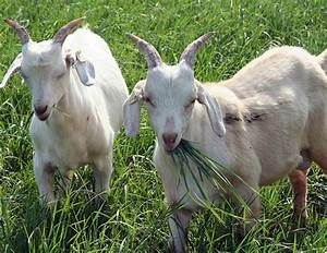 You Can Now Rent Goats In Cleveland To Take Care Of