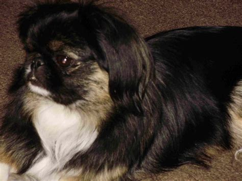 17 Best Images About Pekingese & Tibetan Spaniel Dogs On