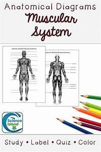 Muscular System Diagrams  Study  Label  Quiz  U0026 Color