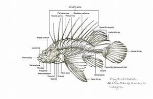 Pin On Lionfish