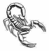 Scorpion Drawing Clipart Easy Draw Pencil Outline Sketch Tribal Drawings Realistic Mortal Kombat Scorpions Coloring Clip Pages Cliparts Drawn Designs sketch template
